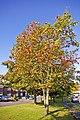 Rowan Tree (Mountain Ash) - geograph.org.uk - 998385.jpg