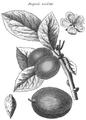 Rozier - Cours d'agriculture, tome 8, pl. 33, diaprée violette.png