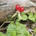 Rubus pedatus (fruits s3).jpg