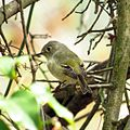 Ruby-crowned Kinglet 2 (16688107524).jpg