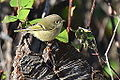 Ruby Crowned Kinglet (8128447004).jpg
