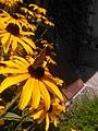 Rudbeckia hirta-црноока пупавица 03.jpg