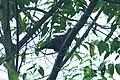 Ruddy Pigeon 2015-06-09 (1) (39615652844).jpg
