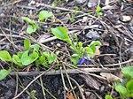 Ruhland, Grenzstr. 3, Duftveilchen im Garten, blau blühend, Frühling, 14.jpg