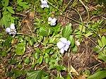 Ruhland, Grenzstr. 3, Hain-Veilchen im Garten, blühende Pflanze, Frühling, 08.jpg