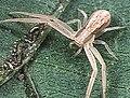 Runcinia.albostriata.female.-.tanikawa.jpg