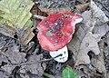 Russula silvestris 17.jpg