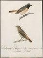Ruticilla phoenicurus - 1800-1812 - Print - Iconographia Zoologica - Special Collections University of Amsterdam - UBA01 IZ16200240.tif