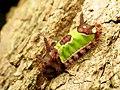 Saddleback Caterpillar (37067603750).jpg