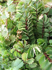 Salad burnet leaves in March.jpg
