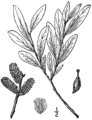 Salix pellita BB-1913.png