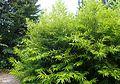 Salix sachalinensis 'Golden Sunshine' kz2.jpg