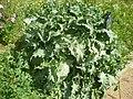 Salvia barrelieri 1a.jpg
