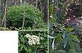 Sambucus nigra (24971104586).jpg