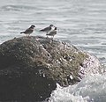 Sanderlings and Ringed Plover (2281812965).jpg