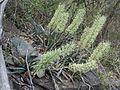 Sansevieria aethiopica00.jpg