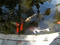 Sarasota FL Selby Gardens koi01.jpg
