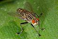 Sarcophagid fly macro.jpg