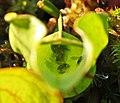 Sarracenia purpurea, w-prey (9178759665).jpg