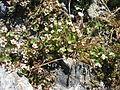Saxifraga rivularis plant upernavik 2007-07-09.jpg
