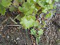 Saxifraga rotundifolia 2017-04-17 7537.jpg