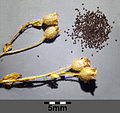 Saxifraga tridactylites sl17.jpg
