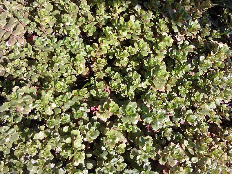 File:Saxifragales - Sedum kamtschaticum - 1.jpg