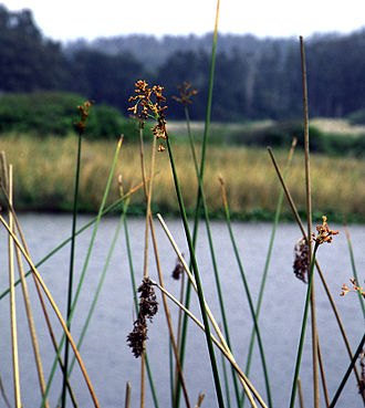 Maritime history of California - Tule reeds growing wild near water
