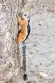 Sciurus variegatoides atrirufus CR.JPG