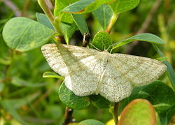 Scopula ternata (Norway).JPG