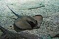 Sea Life Konstanz Rochen.jpg