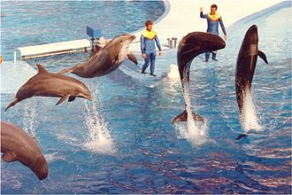 Oceanic dolphin - SeaWorld show featuring bottlenose dolphins and false killer whales