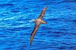 Seabirds of the Drake Passage crossing to the Antarctic Peninsula.Wandering Albatross (Diomedea exulans). (25998539415).jpg