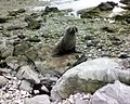 Seal at kaikoura - 2.jpeg