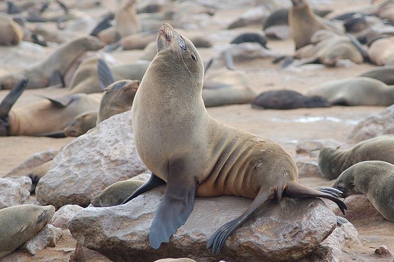 File:Seals at Cape Cross, Namibia (3046555706).jpg