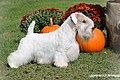 Sealyham Terrier - Solo.1.jpg