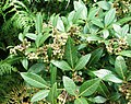 Searsia tomentosa - Real Wild Currant bush - Cape Town.jpg