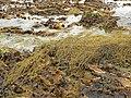 Seaweed by the Skerries of Clestrain - geograph.org.uk - 180959.jpg