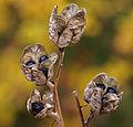 Seedheads (2937415541).jpg