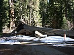Sequoia NP - Tunnel Log.jpg