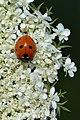 Seven-spotted Lady Beetle (Coccinella septempunctata) on Wild Carrot (Daucus carota) - Guelph, Ontario 2020-07-26.jpg