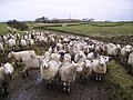 Sheep - geograph.org.uk - 301851.jpg
