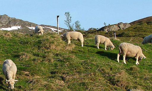 Sheep in norwegian mountain