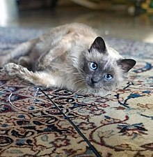 Unlike Some People Our Cat Follows >> Siamese Cat Wikipedia