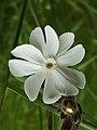 Silene latifolia (14208049781).jpg