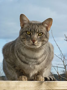 Ocicat - Simple Englis...