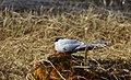Silvertärna Arctic Tern (20324235006).jpg