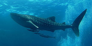 Whale shark - Whale shark in the Andaman Sea around Similan Islands