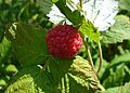 Single raspberry on bush.jpg