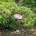Sinharaja Rain Forest, Sri Lanka - panoramio (6).jpg